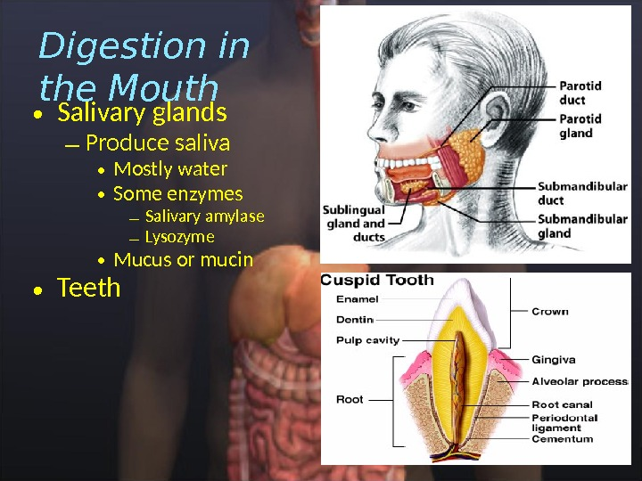 • Salivary glands – Produce saliva • Mostly water • Some enzymes – Salivary amylase