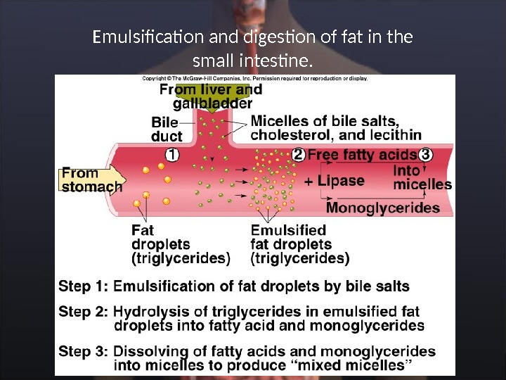 Emulsification and digestion of fat in the small intestine.