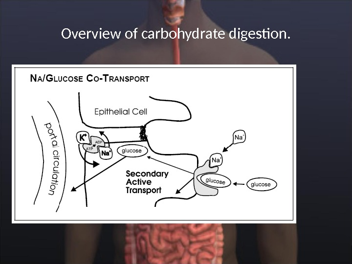 Overview of carbohydrate digestion.