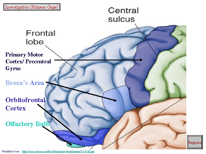 Primary. Motor Cortex/Precentral Gyrus Broca's Area Orbitofrontal Cortex Olfactory. Bulb Modifiedfrom: http: //www. bioon. com/book/biology/whole/image/1/18. tif.