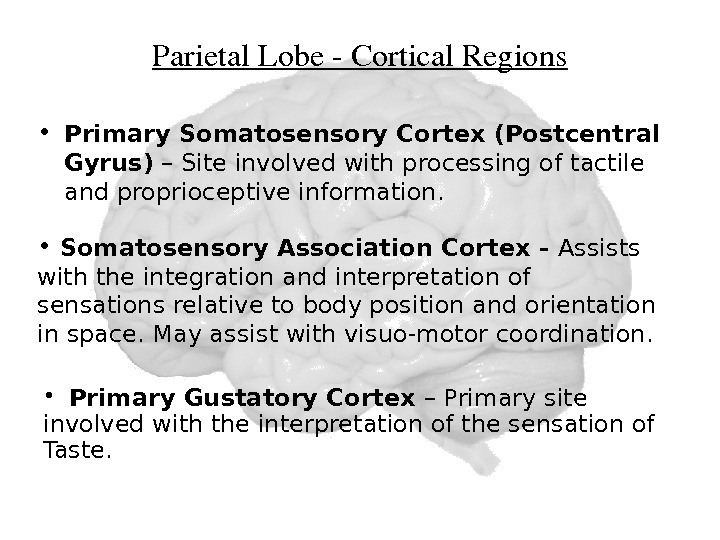 Parietal. Lobe. Cortical. Regions • Primary Somatosensory Cortex (Postcentral Gyrus) – Site involved with processing of