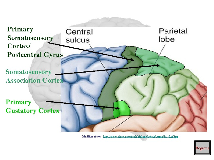Primary Somatosensory Cortex/ Postcentral. Gyrus Primary Gustatory. Cortex. Somatosensory Association. Cortex Regions. Modifiedfrom: http: //www. bioon.