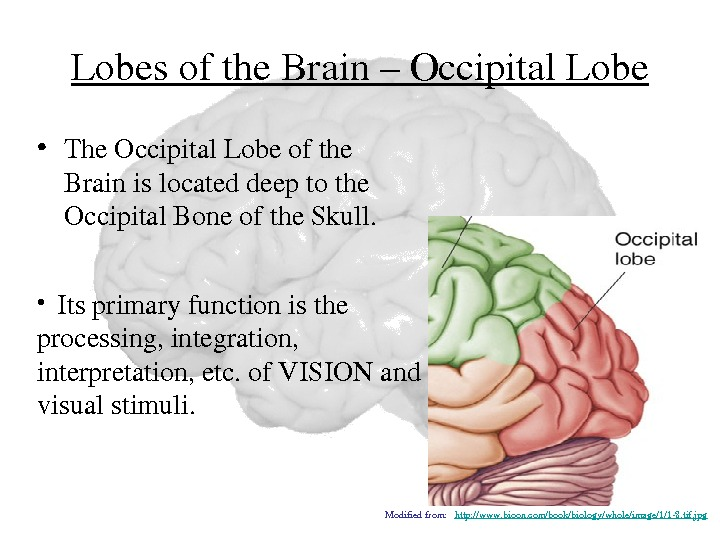 Lobesofthe. Brain–Occipital. Lobe • The. Occipital. Lobeofthe Brainislocateddeeptothe Occipital. Boneofthe. Skull.  •  Itsprimaryfunctionisthe processing,