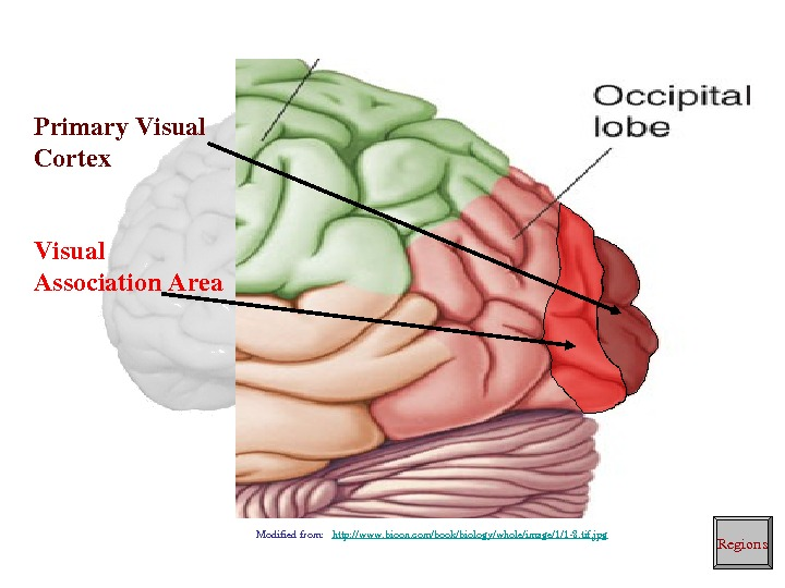Primary. Visual Cortex Visual Association. Area Regions. Modifiedfrom: http: //www. bioon. com/book/biology/whole/image/1/18. tif. jpg
