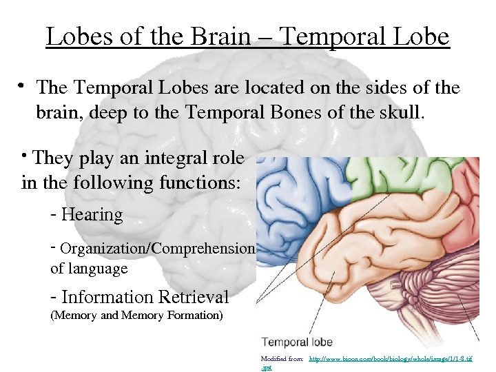 Lobesofthe. Brain–Temporal. Lobe • The. Temporal. Lobesarelocatedonthesidesofthe brain, deeptothe. Temporal. Bonesoftheskull.  •  Theyplayanintegralrole inthefollowingfunctions: