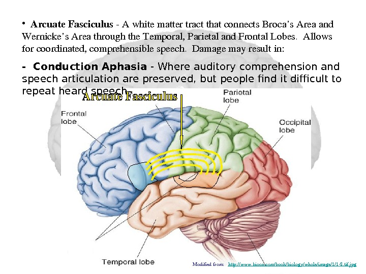 •  Arcuate. Fasciculus Awhitemattertractthatconnects. Broca's. Areaand Wernicke's. Areathroughthe. Temporal, Parietaland. Frontal. Lobes. Allows forcoordinated,