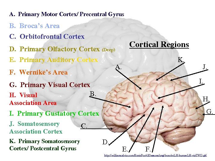 The Human Brain Masterwatermarkimage Williamcalvinrhpresent5: Primary Smell Cortex Location At Gmaili.net