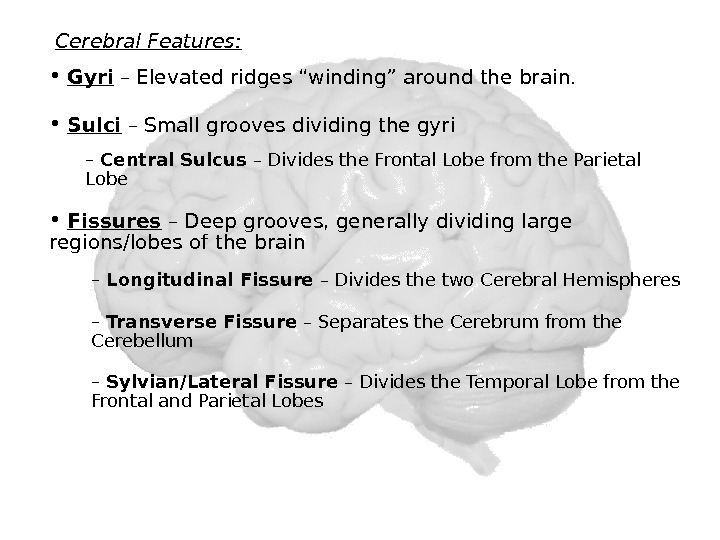 Cerebral Features:  •  Sulci – Small grooves dividing the gyri –  Central Sulcus