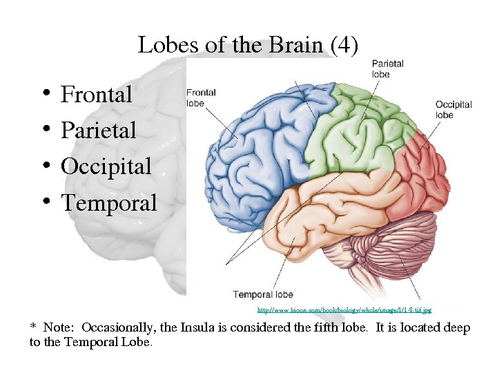 Lobesofthe. Brain(4) • Frontal • Parietal • Occipital • Temporal *Note: Occasionally, the. Insulaisconsideredthefifthlobe. Itislocateddeep tothe.