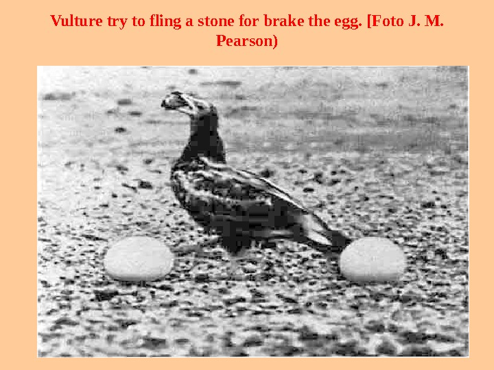 Vulture try to fling  a stone for brake the egg. [ Foto J. M.