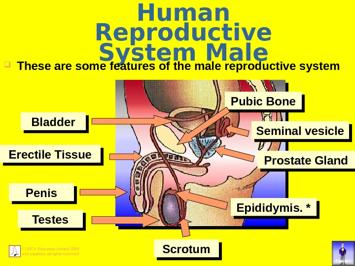 © ORCA Education Limited 2004 and suppliers all rights reserved Human Reproductive System Male These are
