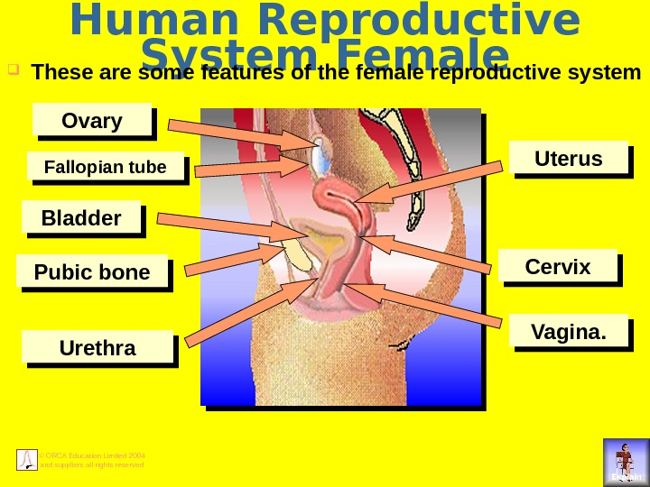 © ORCA Education Limited 2004 and suppliers all rights reserved Human Reproductive System Female These are