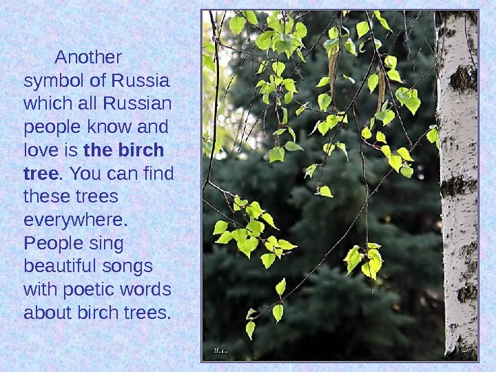 Another symbol of Russia which all Russian people know and love is the birch tree. You