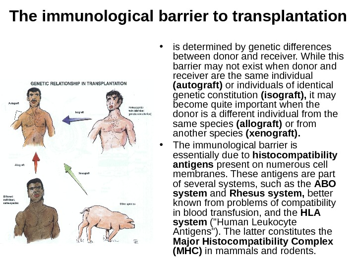 The immunological barrier to transplantation • is determined by genetic differences between donor and
