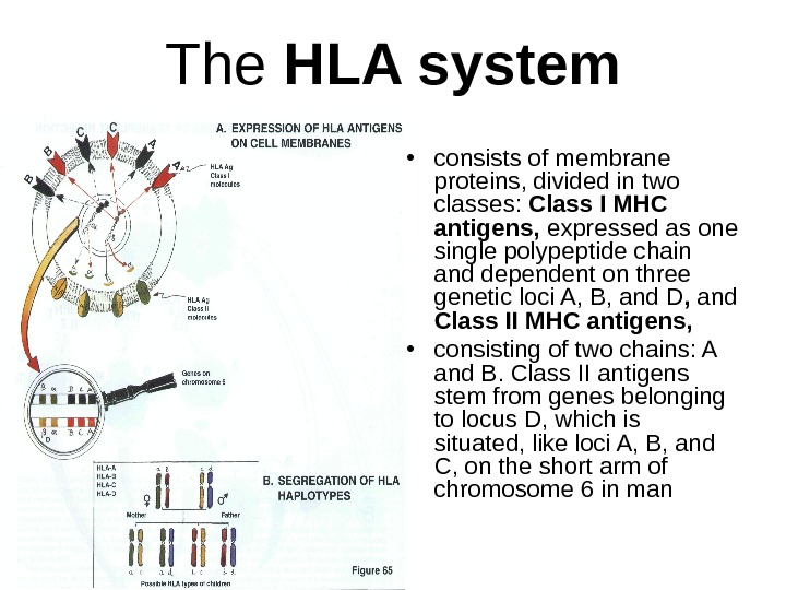 The HLA system • consists of membrane proteins, divided in two classes:  Class