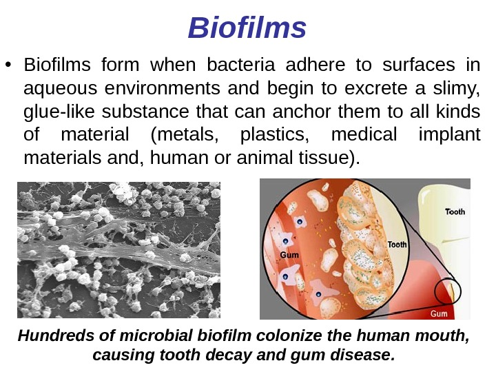 Biofilms • Biofilms form when bacteria adhere to surfaces in aqueous environments and begin