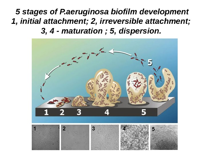 5 stages of P. aeruginosa biofilm development 1, initial attachment; 2, irreversible attachment;