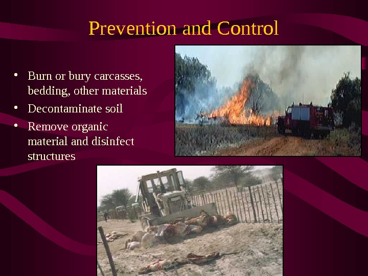 Prevention and Control • Burn or bury carcasses, bedding, other materials • Decontaminate soil  •