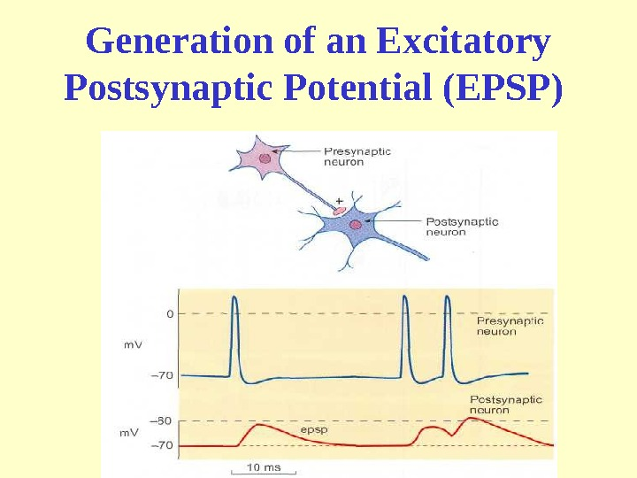 Generation of an Excitatory P ostsynaptic Potential (EPSP)