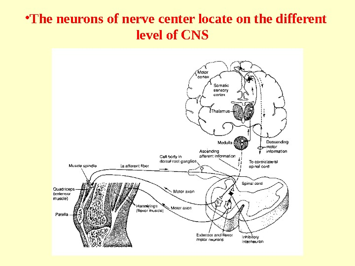 • The neurons of nerve center locate on the different level of CNS