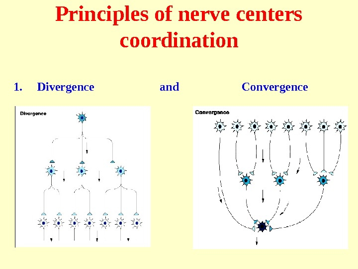 Principles of nerve centers coordination 1. Divergence    and    Convergence