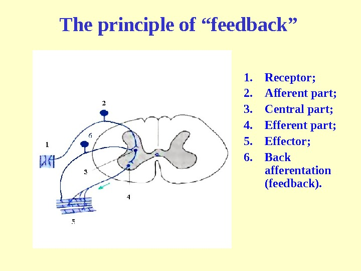 "The principle of ""feedback"" 1. Receptor ; 2. Afferent part ; 3. Central part ; 4."