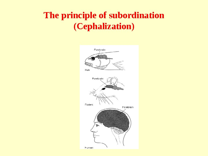 The principle of subordination  (Cephalization)