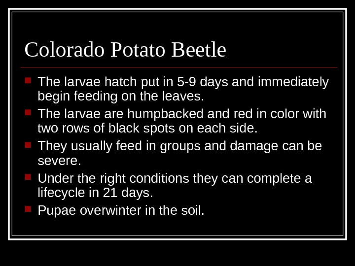 Colorado Potato Beetle The larvae hatch put in 5 -9 days and immediately begin feeding on