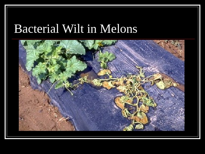Bacterial Wilt in Melons