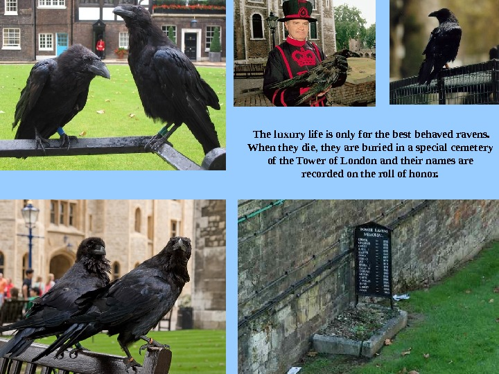 The luxury life is only for the best behaved ravens.  When they die, they