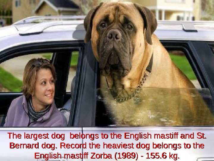 The largest dog belongs to the English mastiff and St.  Bernard dog. Record the heaviest