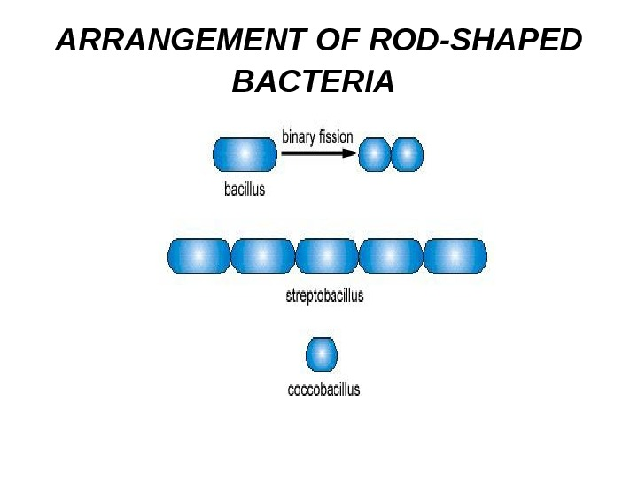 ARRANGEMENT OF ROD-SHAPED BACTERIA
