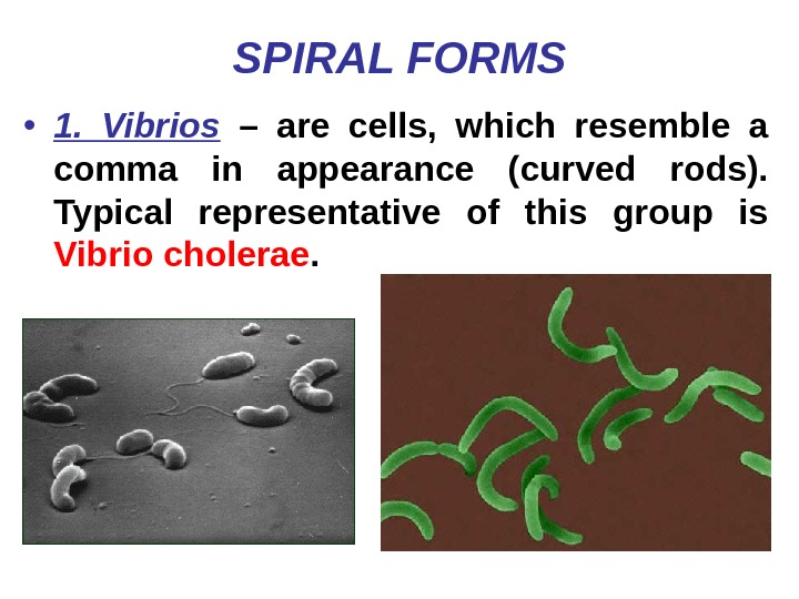 SPIRAL FORMS • 1.  Vibrios  – are cells,  which resemble a