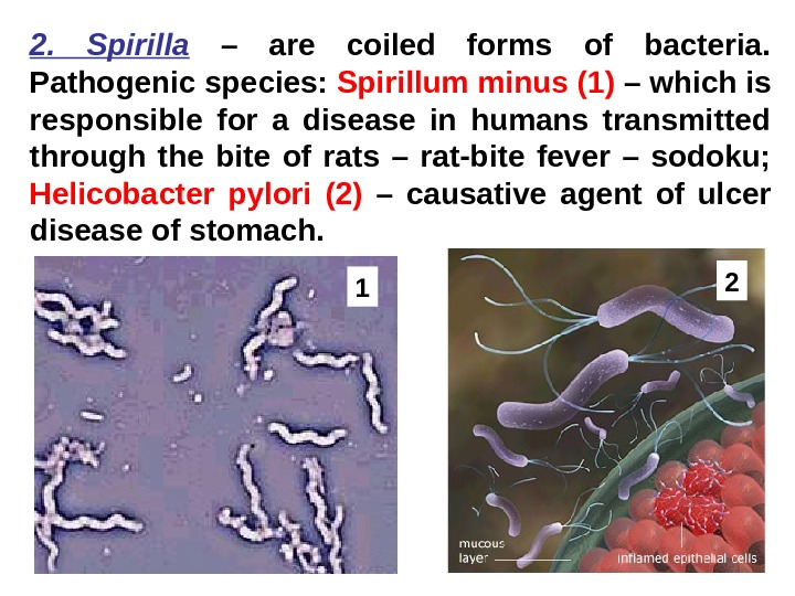 2.  Spirilla  – are coiled forms of bacteria.  Pathogenic species: