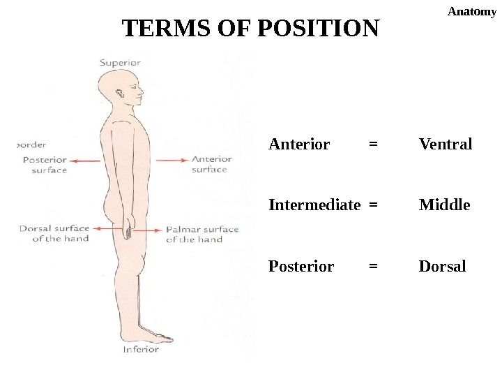 Anterior = Ventral Intermediate = Middle Posterior = Dorsal. TERMS OF POSITION Anatomy