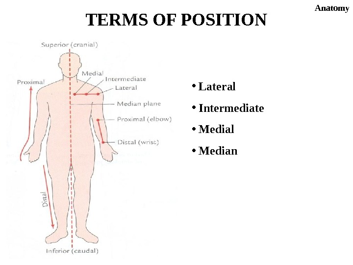 •  Lateral •  Intermediate •  Medial •  Median. TERMS OF POSITION