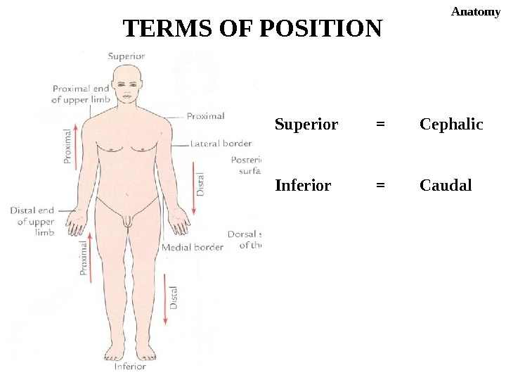 Superior =  Cephalic Inferior =  Caudal. TERMS OF POSITION Anatomy