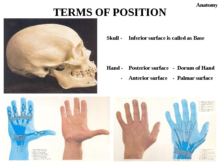 Skull - Inferior surface is called as Base Hand - Posterior surface - Dorum of Hand