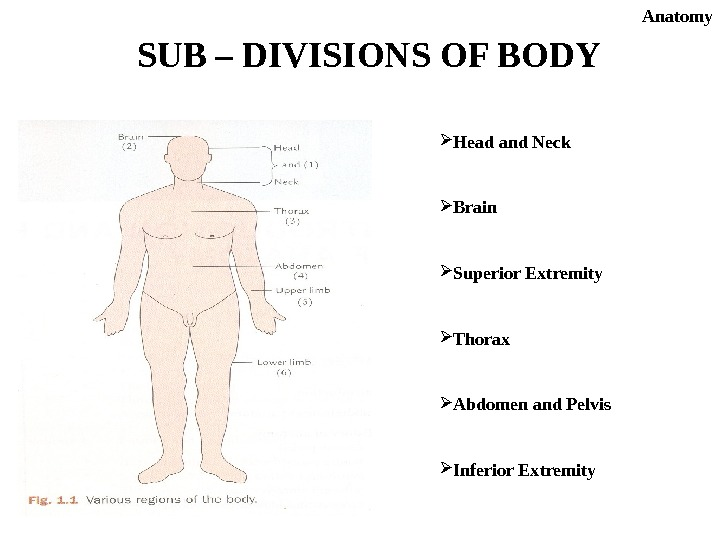 SUB – DIVISIONS OF BODY Head and Neck Brain Superior Extremity Thorax Abdomen and Pelvis Inferior