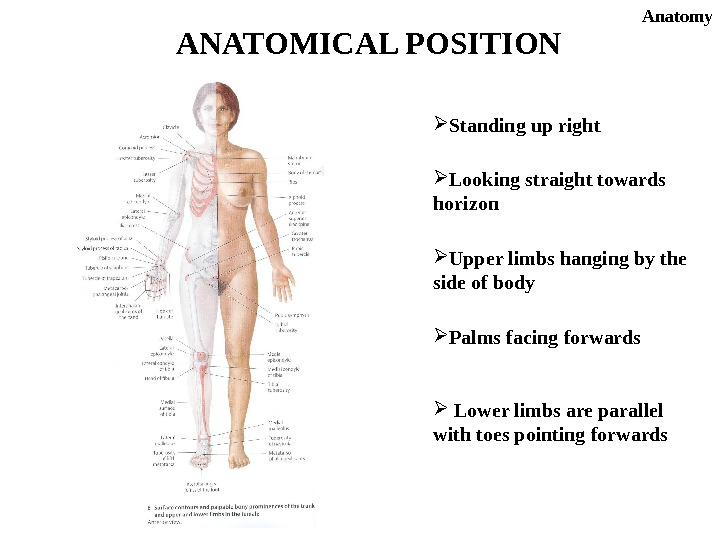 ANATOMICAL POSITION Standing up right Looking straight towards horizon Upper limbs hanging by the side of