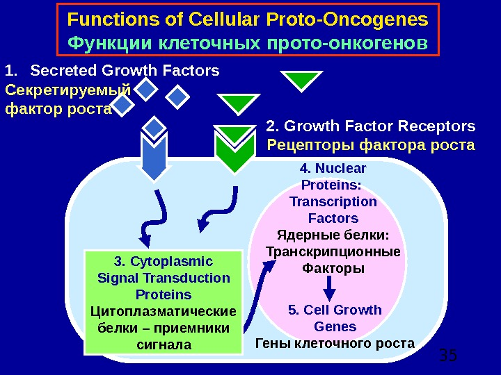 354. Nuclear Proteins:  Transcription Factors Ядерные белки:  Транскрипционные Факторы 5. Cell Growth Genes