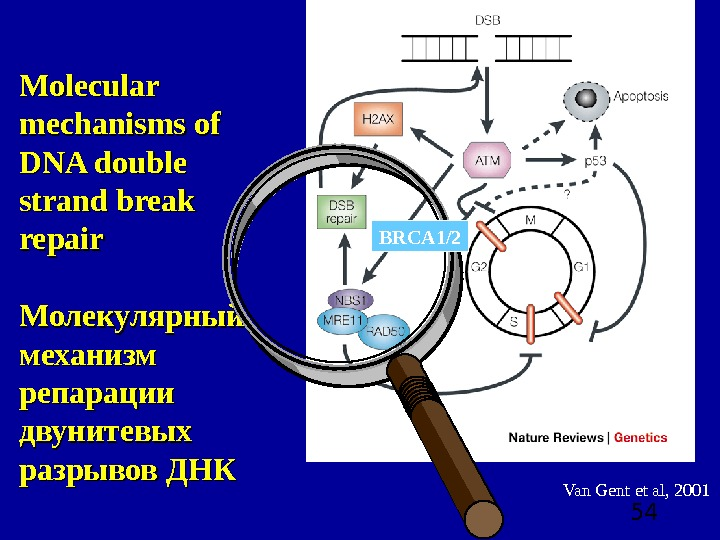 54 Van Gent et al, 2001 Molecular mechanisms of DNA double strand break repair Молекулярный