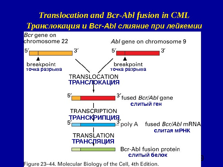 60 Translocation and Bcr-Abl fusion in CML Транслокация и Bcr-Abl слияние при лейкемии точка разрыва