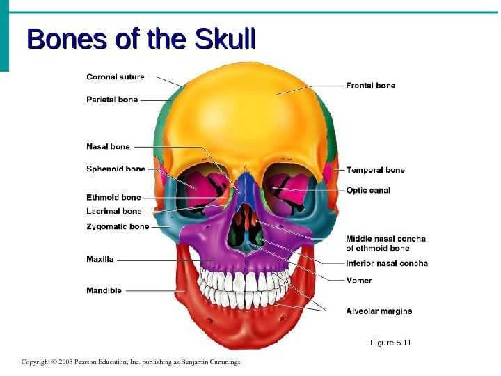 Bones of the Skull Copyright© 2003 Pearson. Education, Inc. publishingas. Benjamin. Cummings Figure 5. 11