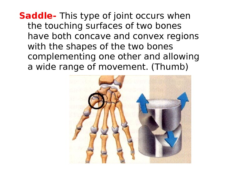Saddle-  This type of joint occurs when the touching surfaces of two bones have both