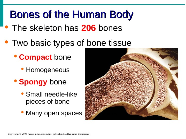 The skeleton has 206 bones Two basic types of bone tissue Compact bone Homogeneous Spongy