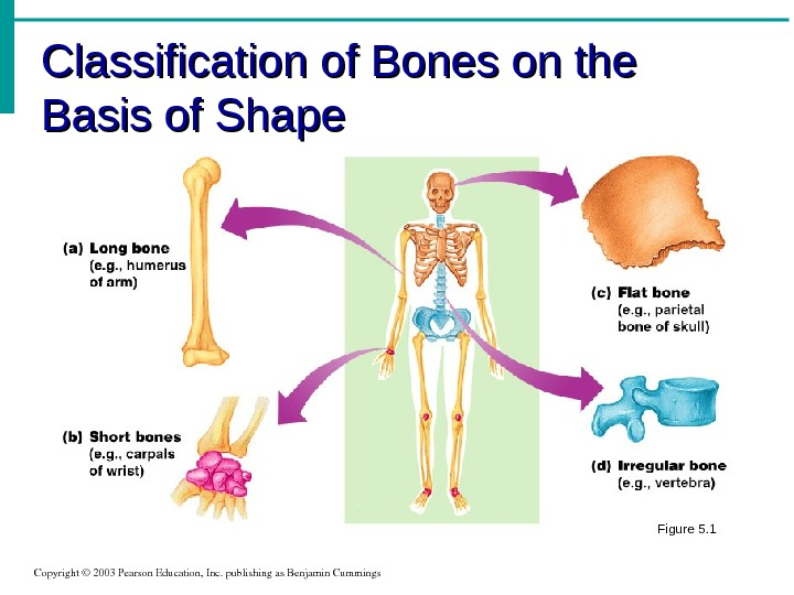 Classification of Bones on the Basis of Shape Copyright© 2003 Pearson. Education, Inc. publishingas. Benjamin. Cummings