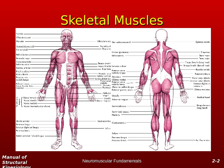 Manual of Structural Kinesiology Neuromuscular Fundamentals 2 -2 - 22 Skeletal Muscles