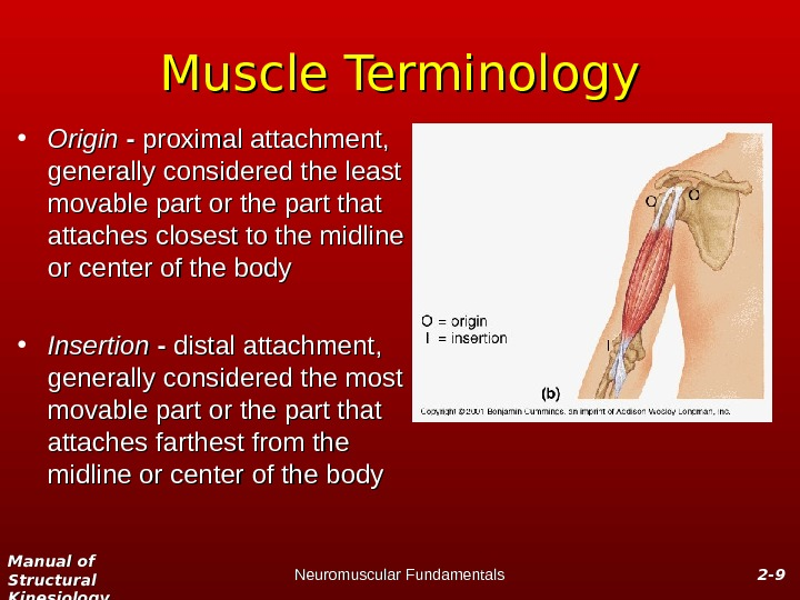 Manual of Structural Kinesiology Neuromuscular Fundamentals 2 -2 - 99 Muscle Terminology • Origin - -
