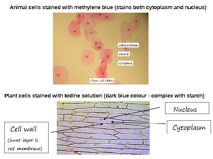 Animal cells stained with methylene blue (stains both cytoplasm and nucleus) Plant cells stained with Iodine